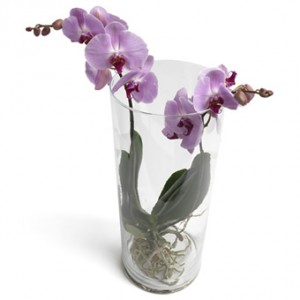 En hög glasvas med orkidéplantering. Orkidén består av blommor med lila kronbrad med cerise färg i mitten av blommorna.