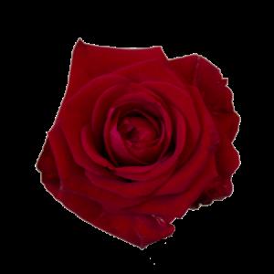 Långa röda rosor, du bestämmer själv antal (max 45 rosor)