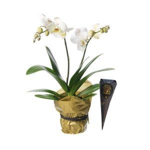 Vit Phalaenopsis-plantering och en strut choklad. Finns hos Interflora