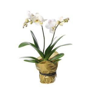 Plantering med vita Phalaenopsis-orkidéer. Från Interflora.