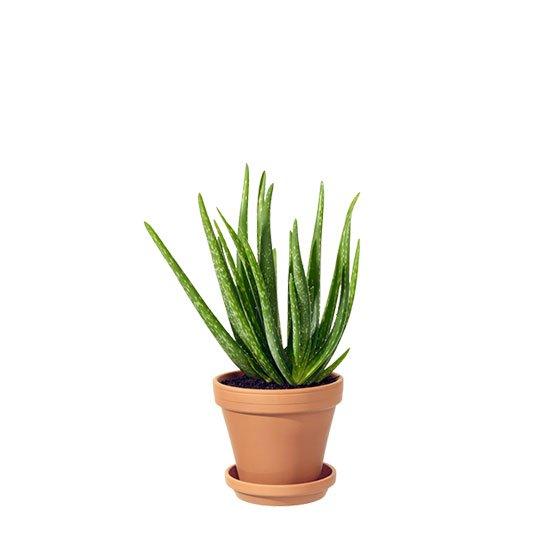 Aloe Vera i teracottakruka. Ur Interfloras sortiment.