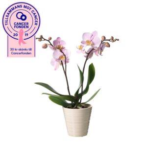 Rosa Phalaenopsis-orkidé i keramikkruka. Ur Interfloras Rosa Bandet-sortiment.