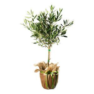 Grönt olivträd. Skicka det med ett blomsterbud från Interflora och gratulera på Mors Dag!