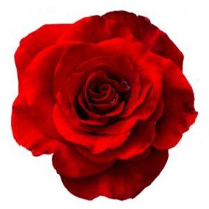 Röd ros - välj själv antal till den bukett du ska skicka (min. 3 st). Ett alternativ hos Florister i Sverige