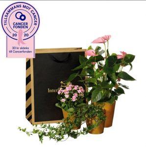 Presentpåse med tre växter; en anthurium, en våreld och en murgröna. Presentpåsen finns att beställa som blombud hos Interflora.