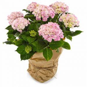 Rosa hortensia - finns att beställa hos Euroflorist